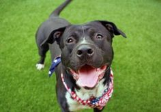 TO BE DESTROYED 06/15/17: ****CAN BE PUBLICLY ADOTPED**** A volunteer writes: Less famous gladiator and more silly school boy, 1.5 year-old Spartacus is a charmer, to be sure. Surrendered to our care, Spartacus is a wildly adorable young lad and, boy, does he know it. He waits for me quietly in his kennel, looking up ever so slightly, a twinkle in his eye, and a
