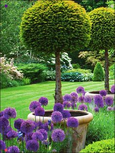 English garden with lollipop yews and allium purple sensation in early summer. - English garden with lollipop yews and allium purple sensation in early summer. Formal Gardens, Outdoor Gardens, English Garden Design, English Landscape Garden, Formal Garden Design, English Country Gardens, Garden Cottage, Front Yard Landscaping, Landscaping Ideas
