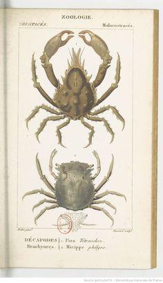 Crustacés, Dictionnaire des sciences naturelles.... Planches, T10 / Par plusieurs professeurs du Jardin du roi | 1816-1830