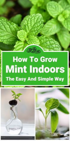Herbs Gardening Want to try your hand at gardening, but don't have any outdoor space? Perhaps you'd love to grow your own herbs, but think this is impossible in an urban living environment? Mint is one of the easiest herbs to grow indoors. Outdoor Plants, Herbs, Growing Herbs Indoors, Gardening Tips, Growing Food Indoors, Easy Herbs To Grow, House Plants Indoor, Hydroponic Gardening, Growing Mint Indoors
