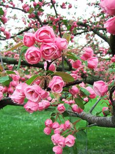 Spring blooms of the Brandywine Crabapple=Looks like a rose tree..