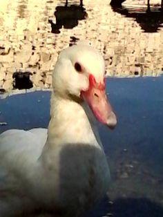 Soy un lindo pato.  I am a pretty duck.