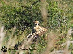 Cheetah Kruger National Park, National Parks, View Photos, Cheetah, Safari, Animals, Animales, Animaux, Animal