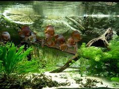 Tropical con peces disco