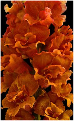 Flicker site says this is a pic of a Snapdragon, but it doesn't look quite right to me. Either way, the color is amazing!