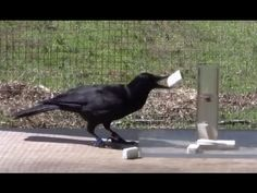 The Crow and the Pitcher experiment