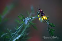 Firefly Experience - Photographs of Lightning Bugs and Photos of Fireflies, firefly macro close-up