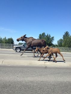 one for Alaska residents, another for Alaska cars! This moose family trottted along with traffic in Anchorage, Alaska. Fairbanks Alaska, Anchorage Alaska, Moose Pictures, Moose Pics, Animals Beautiful, Cute Animals, North To Alaska, Alaska Travel, Alaska Trip