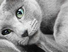 Russian Blue Cat Lounging