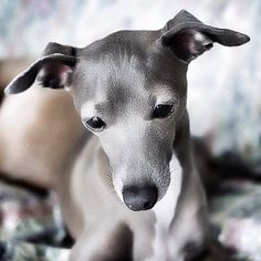 Italian Greyhound - He is so silky, he doesn't look real!