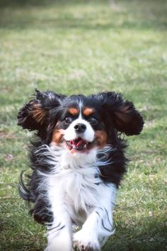 The Cavalier King Charles Spaniel is a little, smart dog with a splendid individuality. They have been recognized to be caring with children and folks of every ages. Training Your Puppy By Incorporating Key Tips Training your pet is very important if you would like him to know his place in the household. You could love to spoil and pamper him but he still must understand you are the pack leader and the man will not be. This informative article can assist you to understand the key benefits of tra King Charles Puppy, King Charles Spaniel, Cavalier King Charles, Spaniel Puppies, Dogs And Puppies, What Dogs, Dog Care, Easy Drawings, Dog Pictures