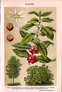 Heres a gorgeous 6 x 9 sweet antique lithograph of the Coffee tree, its flowers and fruit for all of you Java lovers out there!    This amazing brilliantly colored botanical illustration is just one of several harvested from a collection of simply delightful chromo illustrations from the turn of the century.    Theres another illustration on the back of several examples of coffee machines including sorters, grinders and roasters and other tools of the coffee trade.     Itll arrive at your…