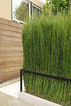 1000 images about equisetum horse tail in pot and containers on pinterest bamboo pots and. Black Bedroom Furniture Sets. Home Design Ideas