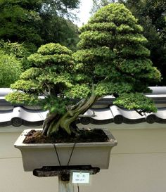 "Incredible ""Double"" Bonsai"