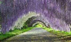 A trip to a fantastical world full of Wisteria flowers  Kyushu & Okinawa, Spring