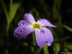 Waterdrops on a flower - Waterdrops on a flower macro
