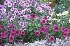 Kuvahaun tulos haulle petunia x hybrida