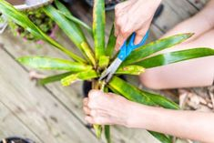 Dracaena Pruning Guide - How And When Should I Cut Back A Dracaena