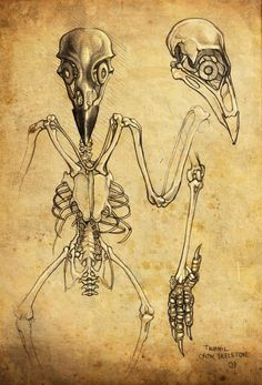 crow skeleton sketch by taurnill