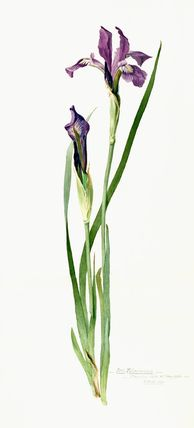 Iris tolmieana, Williamson, Miss (Artist)