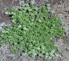 Lemon Frost Thyme - low (2 in), wide spreading (18 in) groundcover that has low water needs, long-lasting white blooms, lemon scent, and keeps its leaves year-round. Will shunt-out most weeds. Good replacement for side yard?
