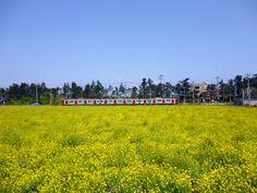 Tenderstem Broccoli & Train of the Karatsu Line (JR Kyushu) , Fukuyoshi, Itoshima, Fukuoka, Japan (April 19th, 2013)