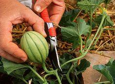 Les melons hybrides ne se taillent que pour limiter leur propagation. Le melon charentais quant à lui se taille en plusieurs fois afin d'obtenir des fruits p...