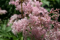 Queen of the Prairie fragrant perennial. Grows tall, great for the back of your landscape or for a border. Put is somewhere very moist and where you can enjoy the scent. It likes clay soil and must be kept moist.