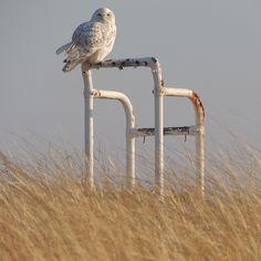 "@Kjess Sullivan's photo: ""This snowy owl is the newest lifeguard at West Dennis Beach! Dennis, Cape Cod, MA."
