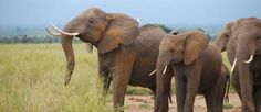African elephants can distinguish human languages, genders and ages associated with danger. African Elephant, The Voice, Cute Animals, Photos, Elephants, Boys, Nature, Enemies, Point