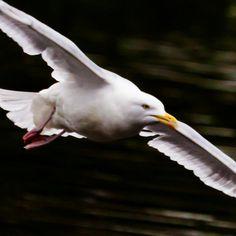 Speeding gull by Steve-h, via Flickr