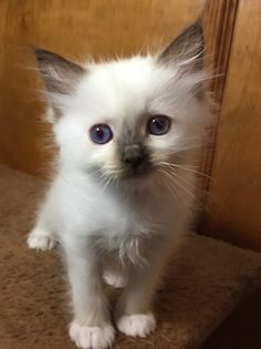 Welcome to Genotype Cats - Ragdoll Cats Last Child, Kittens Playing, Ragdoll Cats, Unique Animals, Black Spot, Rage, Dog Cat, Fox, Kitty