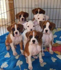 How could you NOT love the faces on these sweet boxer puppies? HOW does one get them to hold still for a picture???? #BoxerDog #Theboxerdog