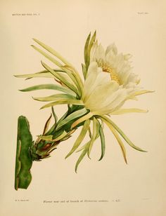 v.2 - The Cactaceae : - Biodiversity Heritage Library