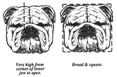 An Illustrated Guide to the Bulldog Standard, English Bulldog Standard, English Bulldog Colors, English Bulldog Size English Bulldog For Sale, Bulldogs For Sale, Blue French Bulldog Puppies, Baby Bulldogs, Cute Bulldogs, Bulldog Puppies For Sale, English Bulldogs, Valley Bulldog, Bulldog Drawing