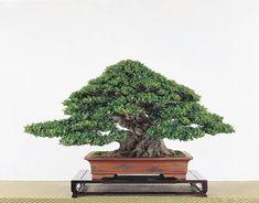 Bonsai Plants, Bonsai Trees, Ficus Microcarpa, Tiny World, House Plants, Flower Power, Home And Garden, Herbs, Flowers