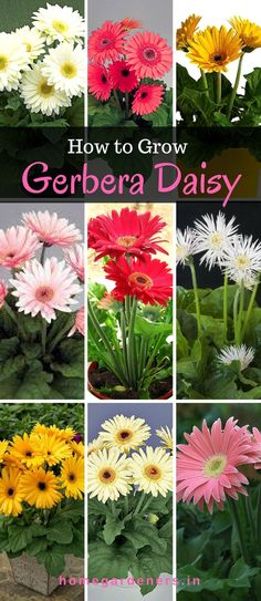 It's fun to grow and enjoy gerbera daisy plants in your garden space starting from seeds/cuttings that spreads beautiful fragrance, purifies air and keeps surrounding hygiene.