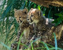 Meet the Zoo's Cheetahs - National Zoo| FONZ  (can I have one?  PLEASE???)