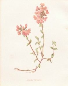 Antique Botanical print by Anne Pratt titled Wild Thyme. Pratt was one of the best known botanical illustrators of the time. The prints overall paper size is 4 by 5 1/2 inches, with the prints itself being 4 by 3 inches approximately. The print is a chromolithographic print with the colours being quite vibrant. Vintage Botanical Prints, Prints For Sale, Paper Size, Illustrators, Antiques, Color, Antiquities, Antique, Colour