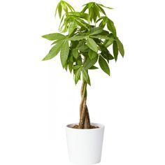 Kastanjasutipuu (Pachira aquatica)