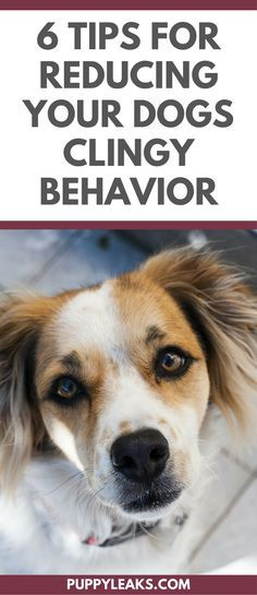 Do You Have a Velcro Dog? Does Your Dog Follow You Everywhere? Here's 6 Ways to Reduce Your Dogs Clingy Behavior. @KaufmannsPuppy