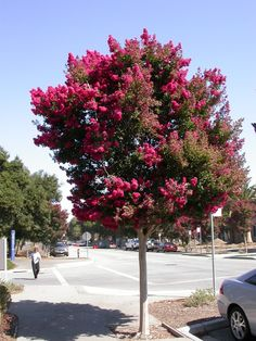 Lagerstroemia Indica - red flower tree