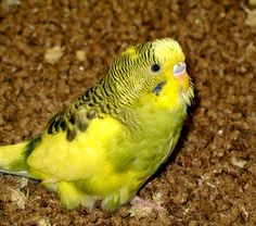 """Did you know; You can actually train a """"parakeet"""" to not only speak but speak its address in case it gets lost!"""