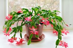 How to care for Christmas Cactus. Why your cacti drops flowers and more tips. How to care for Christmas Cactus. Why your cacti drops flowers and more tips. Christmas Cactus Plant, Easter Cactus, Toxic Plants For Cats, Indoor Plants, Indoor Garden, Indoor Cactus, Balcony Garden, Cactus Plante, Blooming Plants