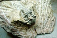 Trilobite Preparation Sequence - Metacanthina issoumourensis - FossilEra.com