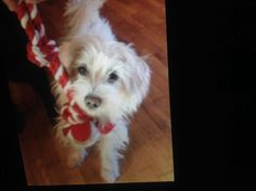 "LOST! #SanFernando #sfv (Orange Grove/Seventh) Female Terrier Mix ""Lucy"" Call 818-298-9525 or email darlamode@hotmail.com if seen. White. 2 Years old, 12 lbs. Wearing collar and tags. Microchipped. Spayed/Neutered.. Lost 08-19-2014 5:40 PM. Note from owners: She was lost around Orange Grove and Seventh Street yesterday evening. She was wearing a color with Id tag and phone numbers. There is a reward!!!!. Please share!  Please note, the pet's owners may not be reading the comments on this ..."