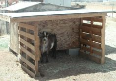 goat Bucky in his shelter - lots of good info