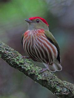 Manakin - Saltarín rayado oriental (Machaeropterus regulus). Es un ave paseriforme perteneciente al género Machaeropterus de la familia Pipridae. Es endémico del litoral sureste de Brasil.