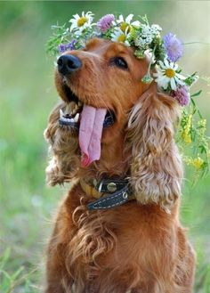 Cocker spaniel. Floral headband