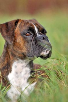 Boxer Dogs Boxer enjoying a run in the meadow - If you own a girl Boxer then these female Boxer dog names will fit this breed perfectly. Boxer Dog Names, Boxer Dog Puppy, Brindle Boxer Puppies, Boxer Breed, Pitbull, Beautiful Dogs, Animals Beautiful, Female Boxer Dog, Pet Dogs